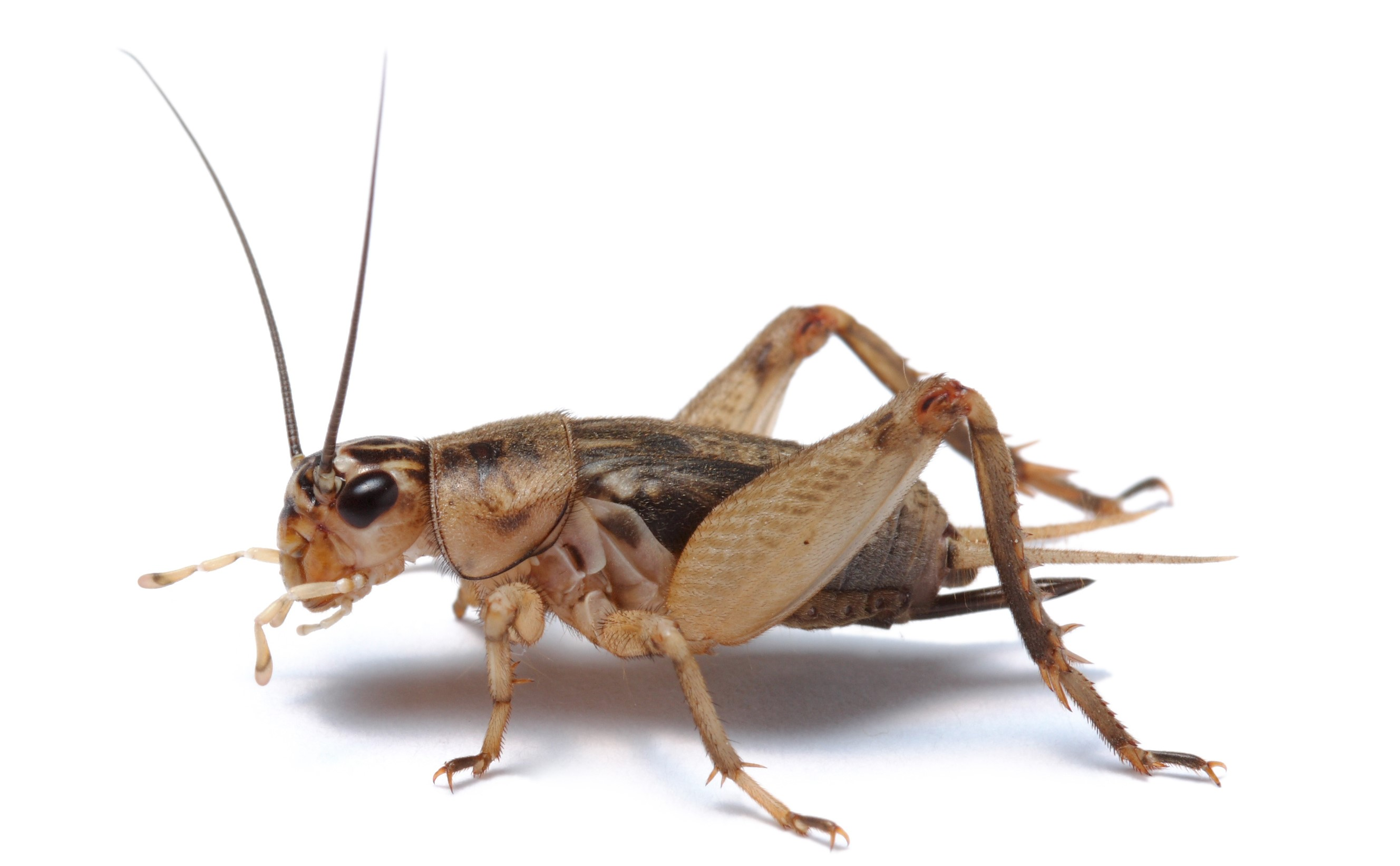 Cricket - Insectus feed for insect farming